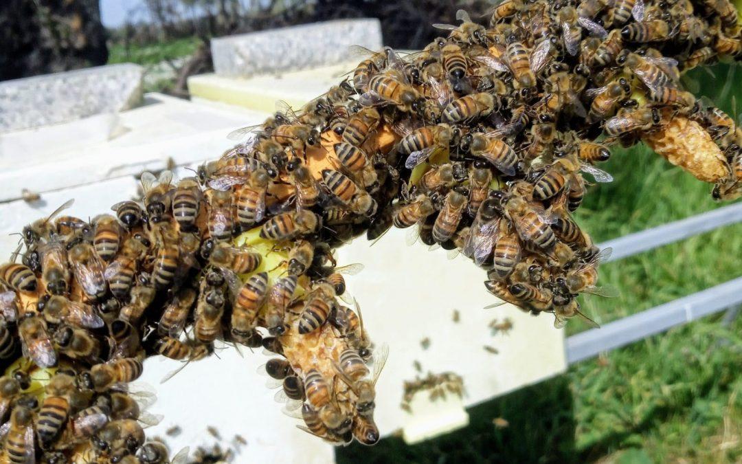 Istrù allevamento api regine corso di secondo livello apicoltura massimo licini silvia muscas villacidro sardegna